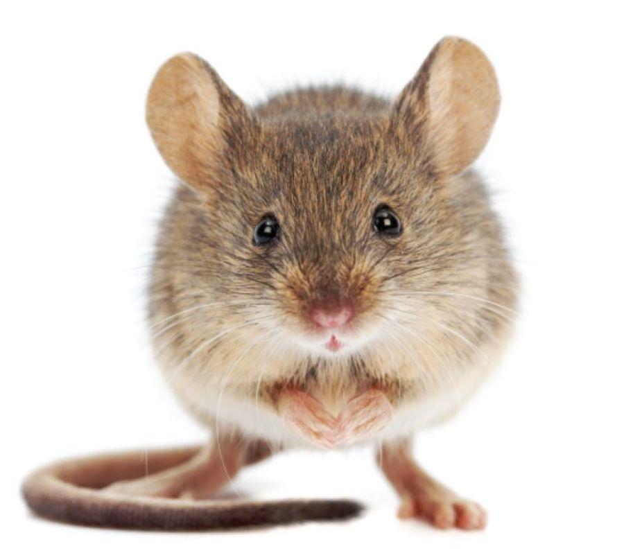 Heimmaus, Mäuse kämpfen